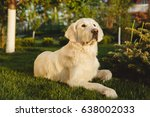 portrait of a beautiful golden... | Shutterstock . vector #638002033