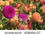 dahlia  dahlia sp.  | Shutterstock . vector #638006137