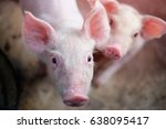 Small Piglet In The Farm. Grou...