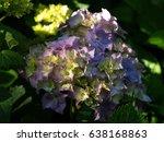 hydrangea in the sun    Shutterstock . vector #638168863