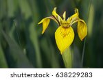 Flower Of Yellow Iris  Iris...