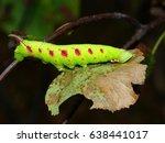 lime hawk moth caterpillar on