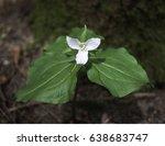 Small photo of Trillium, [Genus Trillium, family Liliaceae (or Trilliaceae): several species. On Chuckanut Mountain, Washington State