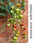 Small photo of Tomatoes ripening on the vine against a sunny wall in the UK allotment garden.