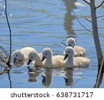 Five Baby Swans Swimming Baby...