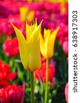 beautiful tulip   colorful ... | Shutterstock . vector #638917303