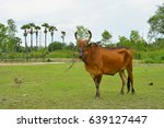 Small photo of Asian bloodline cow in tropical field