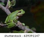 italian tree frog  hyla...