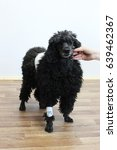 Small photo of Old 9-year-old black poodle in a veterinary clinic after removing the tumor on the skin in the back area. On the front paw, an intravenous catheter through which anesthesia was administered