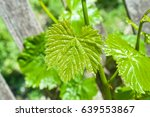 young green tender shoots and... | Shutterstock . vector #639553867