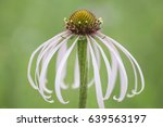 Wild Pale Coneflower In A...