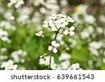 Small photo of Flower. White alpine Rockcress close-up