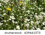 Small photo of Flower. White alpine Rockcress.