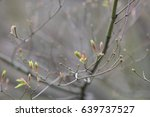 Small photo of The first buds in the spring of Maple are Acer circinatum Pursh. On a blurry background. Close-up. Maples in the botanical garden.