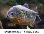 Pygocentrus nattereri. piranha...