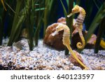 Two seahorse in aquarium