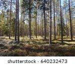 Pine Forest In Finalnd