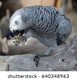 Small photo of African grey
