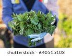 woman picking  fresh nettles... | Shutterstock . vector #640515103