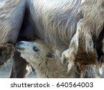 baby camel suckling close | Shutterstock . vector #640564003