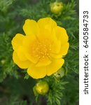 Small photo of Adonis vernalis
