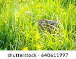 Young Hare Hiding In Grass....