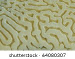 Close-up of the intricate pattern of a brain-coral (Platygyra lamellina). Marsa Bareika, Ras Mohamed National Park, red Sea, Egypt. - stock photo