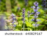 close up shot of blue ajuga... | Shutterstock . vector #640829167