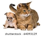 Stock photo cat and puppy of the chihuahua in studio 64093129