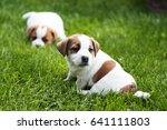 Jack Russell Terrier Puppies O...