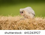 barn owl  tyto alba  is the... | Shutterstock . vector #641263927
