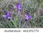 Three Wild Irises