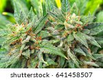 macro photos of marijuana cones ... | Shutterstock . vector #641458507