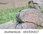 Small photo of Colorful mwanza flat-headed rock agamas (Agama mwanzae) sunning itself on a stone in Serengeti National Park, Tanzania