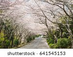 cherry blossom trees in...   Shutterstock . vector #641545153