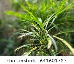garden croton | Shutterstock . vector #641601727