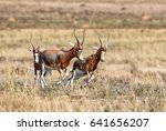 Blesbok Running In Southern...