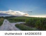 green corn growing on the hill... | Shutterstock . vector #642083053