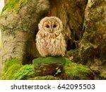 tawny owl or brown owl  strix...   Shutterstock . vector #642095503