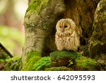 tawny owl or brown owl  strix...   Shutterstock . vector #642095593