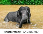 Small photo of Young elephant with tusks is enjoining taking a bath in the brown waterfall or river in Asia.