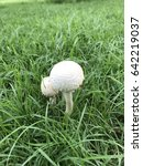 close up white mushroom on...   Shutterstock . vector #642219037