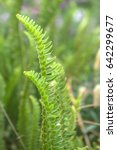 Side View Of Fishbone Fern...