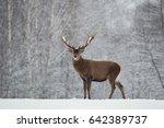 single adult noble red deer... | Shutterstock . vector #642389737