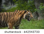 tiger run in the green forest | Shutterstock . vector #642543733