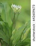 Small photo of Wild garlic (Allium ursinum)