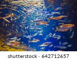 shoal of red yellow tropical... | Shutterstock . vector #642712657