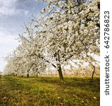 polish orchard. blooming cherry ...   Shutterstock . vector #642786823