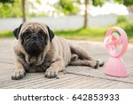 funny pug dog playing with pink ... | Shutterstock . vector #642853933