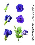 Stages Of Butterfly Pea Or...